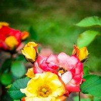 розы :: Olesya
