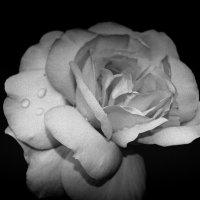 роза :: Екатерина Цуркова