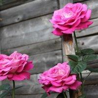 Розы в саду :: Света Чубук