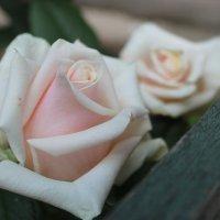 Нежная роза :: Света Чубук