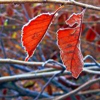 листья(после мороза) :: Татьяна Королёва