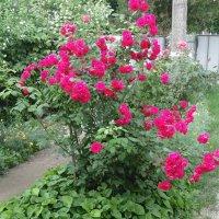 розы.. :: Просто witamin