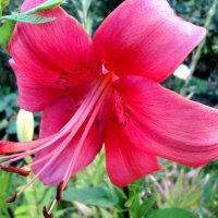 Красота восточной лилии... :: Тамара (st.tamara)