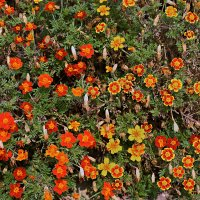ковёр цветов на заборе из кустарника :: Валерий Дворников