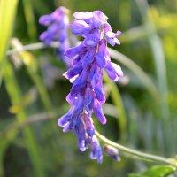 полевые цветы... :: Светлана