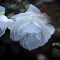 Роза. :: Nonna