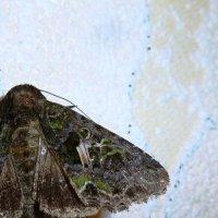 ночная бабочка :: Nadeжda Тимофеева