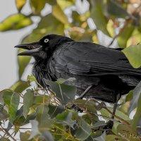Ворона, она и в Австралии ворона! :: Максим Камышлов