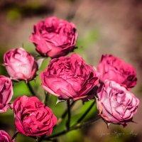 Розы :: Ирина Яздан Мехр