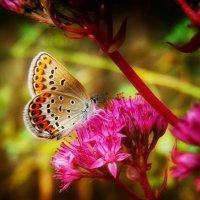 Голубянка икар - дневная бабочка из семейства голубянок. :: Александр Афромеев