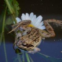 Лягушка-квакушка :: Savayr
