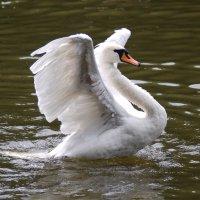 Лебедь, распрямляющий крылья :: Александр Буянов