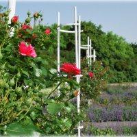 В Розовом саду :: N. Burmistrova Наталья