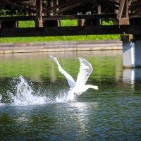Лебедь на взлете... :: Nonna