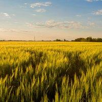 хлебное поле :: Roman Demidov