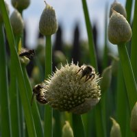 пчёлы любят лук... :: Николай Воробьёв
