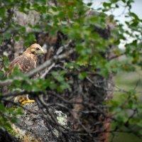 кречет у гнезда :: Николай Бабий