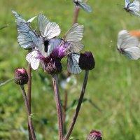 нашествие бабочек :: Елена