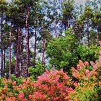 скупия цветёт :: Валерий Дворников