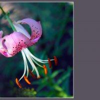Розовая лилия :: Olenka