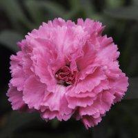 Розовая нежность :: Jully71 Sh