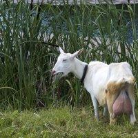 Монастырская коза :: Николай