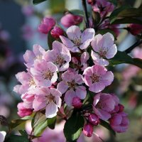 Ах, этот яблоневый цвет... :: Андрей Иванович (Aivanovich-2009)