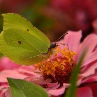 Просто бабочка :: Алла Кулиняк