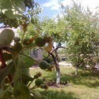 Яблочки :: Olga Kot