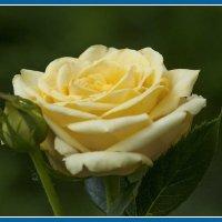 Роза желтая :: Владимир Кроливец
