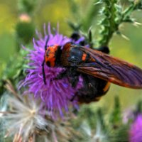 Пчела в трудах.... :: Agnivarshi Малтыз
