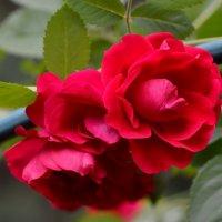 Как дивно пахнут эти розы :: OLCEN Лен