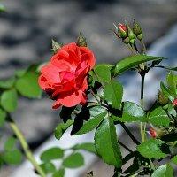 Роза милая моя. :: Анатолий