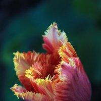 Тюльпан в юбочке с бахрамой :: Ясения Вальковская