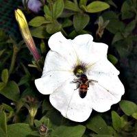 пчела в цветке :: Татьяна Королёва