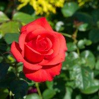 Роза в саду :: Александр Пронь