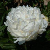 И  вновь  цветут     пионы.... :: Galina Leskova