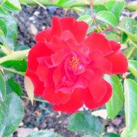 Роза. :: Валерьян