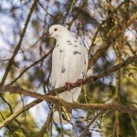 Белый голубь :: Богдан Петренко