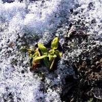 весеннее чудо,первый цветок.. :: Татьяна Королёва