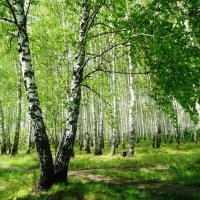 Сибирские березки :: Лариса Рогова