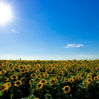 Солнечное поле :: Nataliya Oleinik