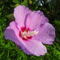 Цветок Абхазии :: Vladimir 070549