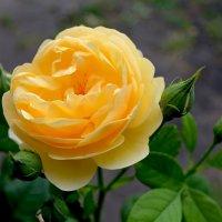 Жёлтая роза :: lara Bondarchuk