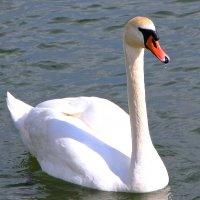 Лебедь :: Инна Аксенова