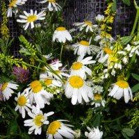 полевые цветы :: Надежда