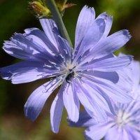 Цветы Башкирии :: redfox