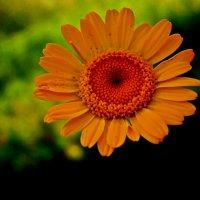 Цветочки :: Лариса Коломиец