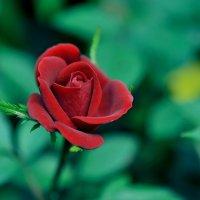 Роза чайная,домашняя. :: Андрей Куприянов