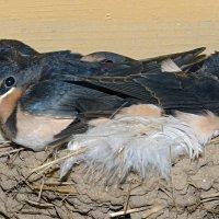 Ласточкино гнездо :: Елена Румянцева